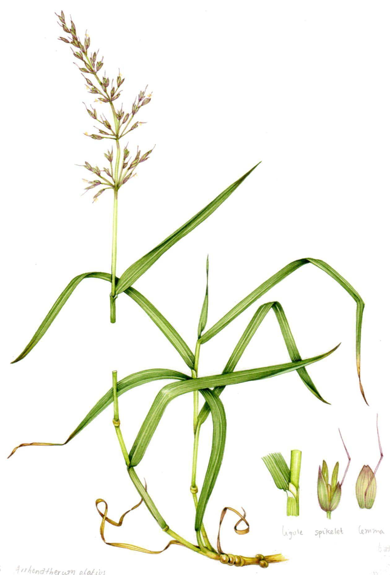 Clipart cheatgrass picture black and white stock False oat grass Arrhenatherum elatius copyright www.lizzieharper.co ... picture black and white stock