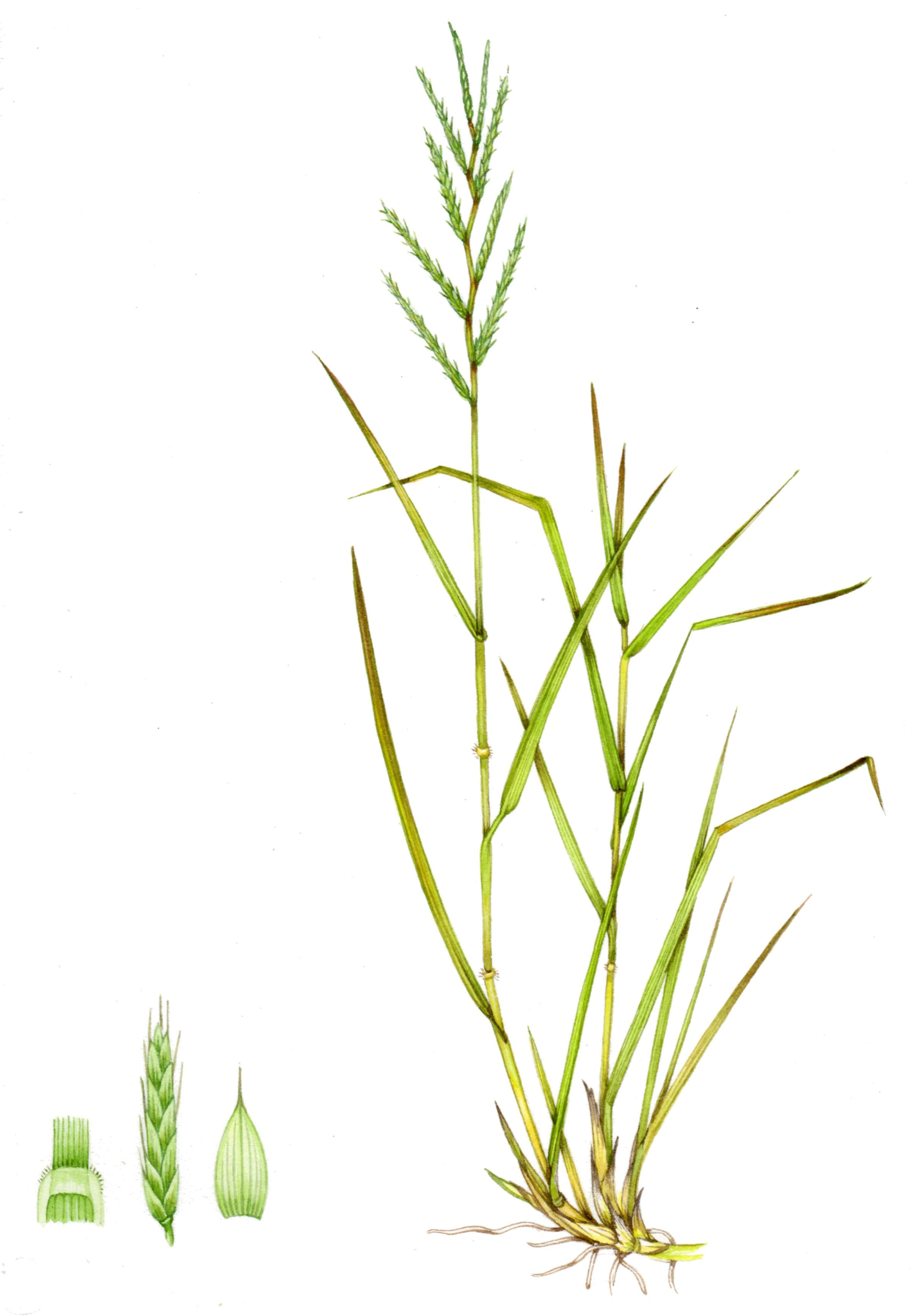 Clipart cheatgrass graphic library Tor grass Brachypodium pinnatum copyright www.lizzieharper.co.uk ... graphic library
