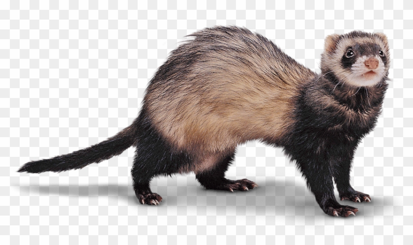 Clipart child with ferret graphic transparent download Ferret Png - Black Footed Ferret Png, Transparent Png (#1530313 ... graphic transparent download