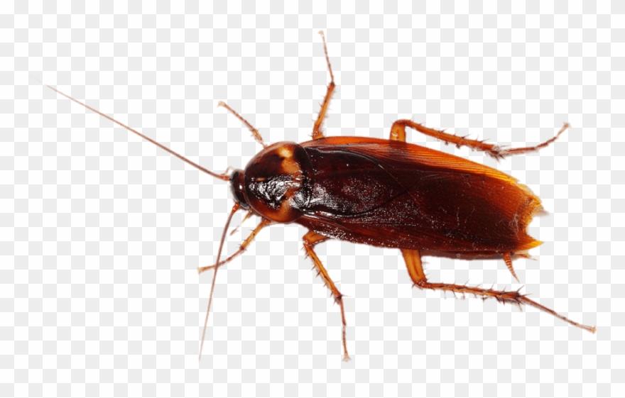 Clipart cockaroach