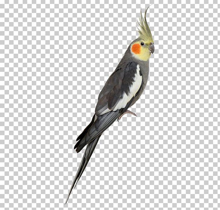 Clipart cockatiel jpg royalty free download Cockatiel Cockatoo Budgerigar Bird Stock Photography PNG, Clipart ... jpg royalty free download