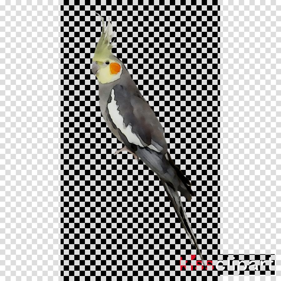 Clipart cockatiel clip art Bird Parrot clipart - Bird, Parrot, Wing, transparent clip art clip art