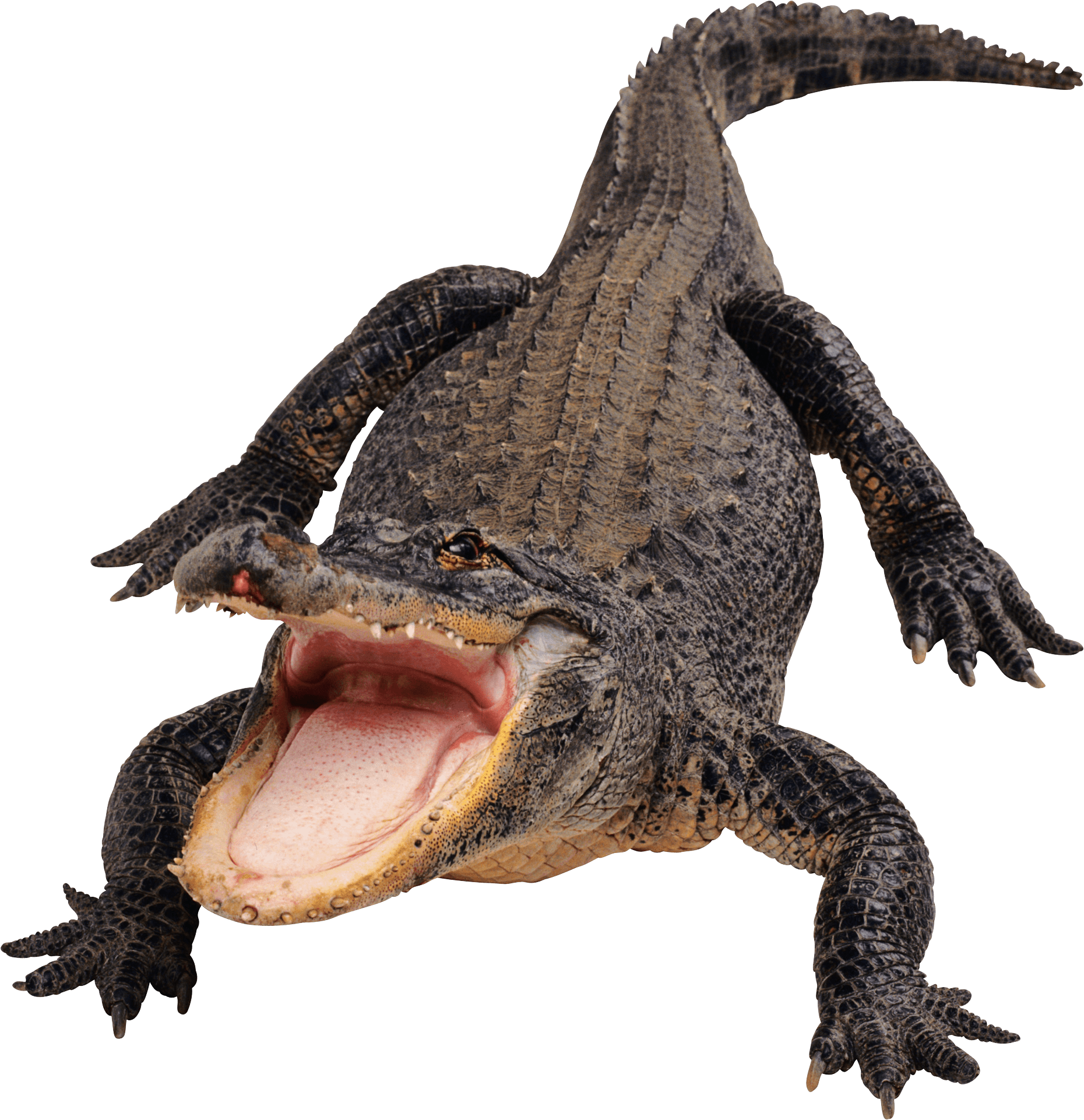 Clipart crocodile with a basketball in its mouth png royalty free  png royalty free