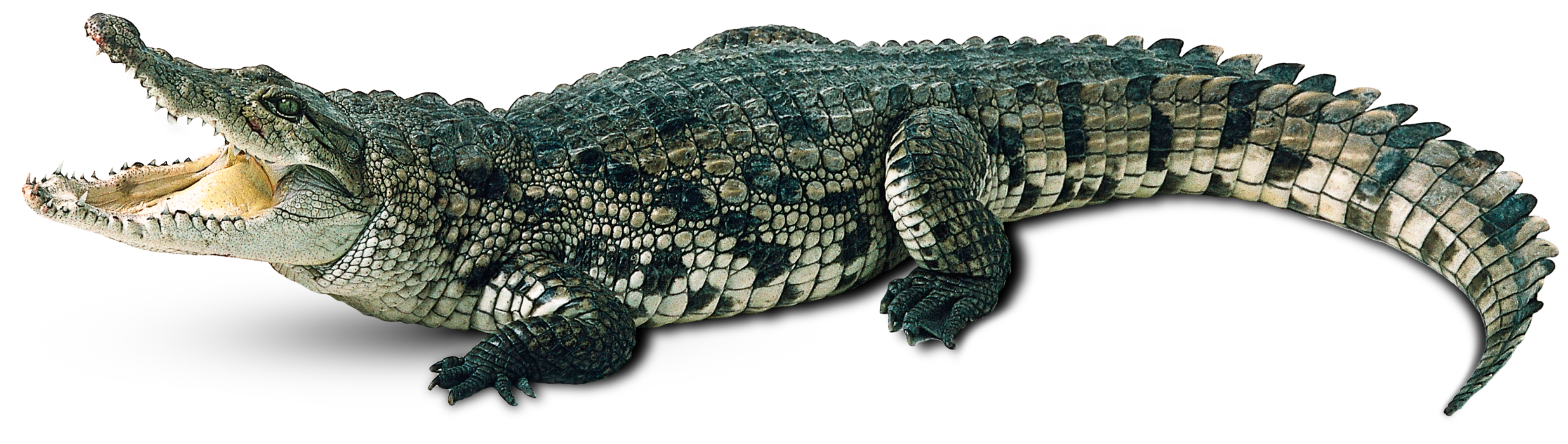 Clipart crocodile with a basketball in its mouth clip art free library Crocodile-Free-PNG-Image.png (2470×700) | animals | Pinterest ... clip art free library