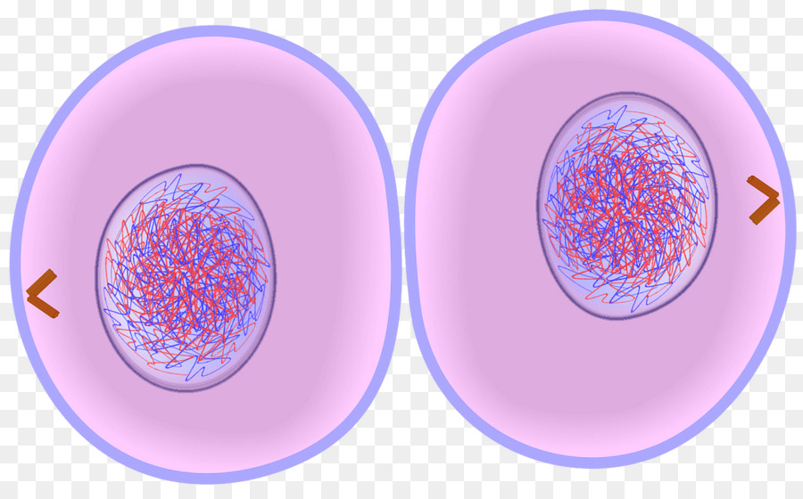Clipart telophase picture free library cytokinesis cell clipart Cytokinesis Mitosis Cell division clipart ... picture free library