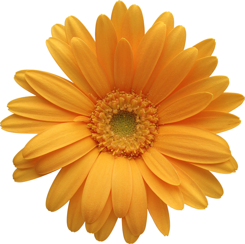 Flower daisy clipart svg transparent stock Orange Gerber Daisy Clipart | Gallery Yopriceville - High-Quality ... svg transparent stock