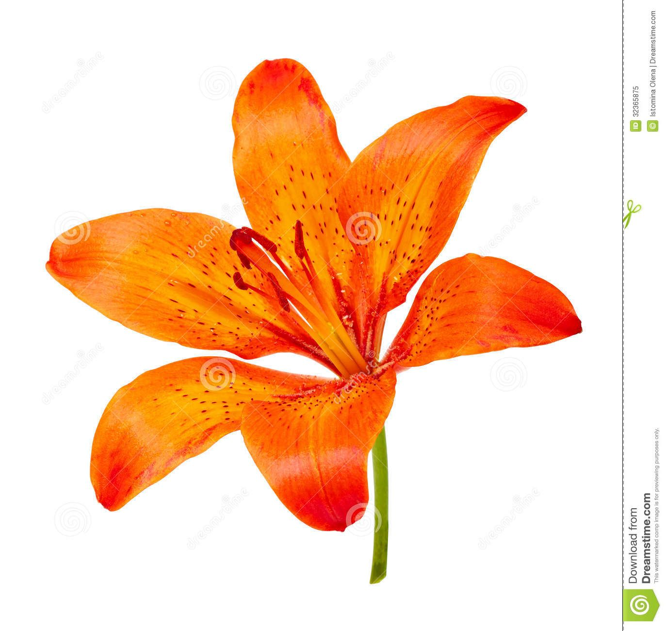 Tigerlily clipart clip black and white stock Free download Orange Tiger Lily Clipart for your creation. | flowers ... clip black and white stock
