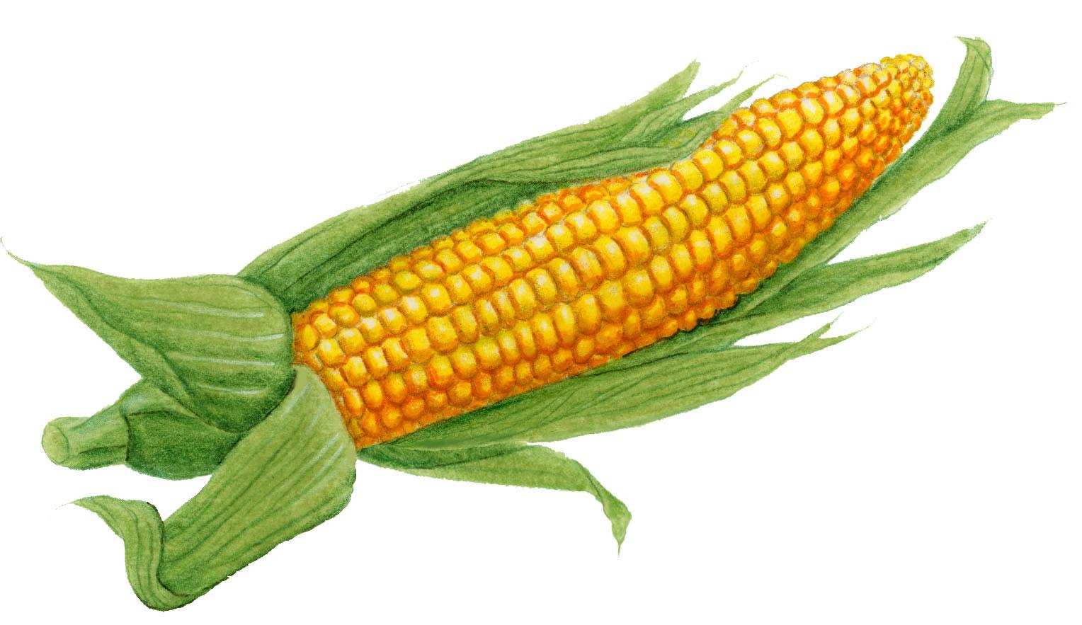 Clipart ear of corn jpg library stock Ear of corn clipart 1 » Clipart Station jpg library stock