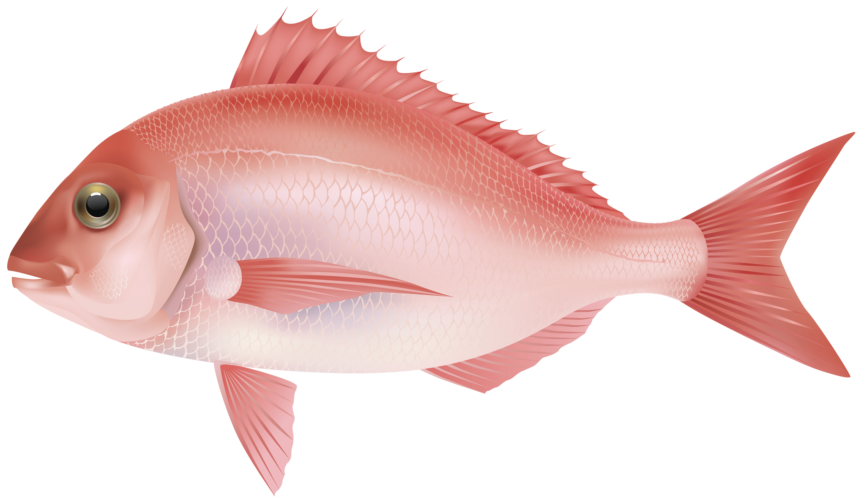 Realistic cool fish clipart images graphic library Red Sea Fish PNG Clipart Image - Best WEB Clipart graphic library