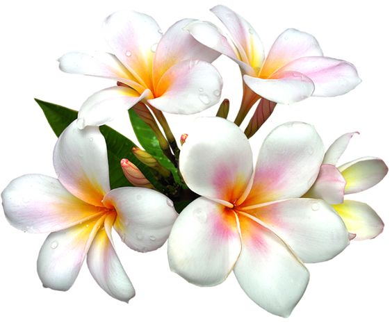 White gallery free picture. Clipart flower png