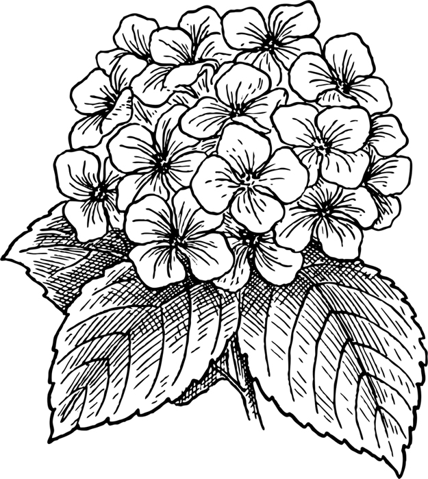 Clipart for late summer flowers graphic Hydrangeas, asters and late summer blooms | Shelter Island Reporter graphic