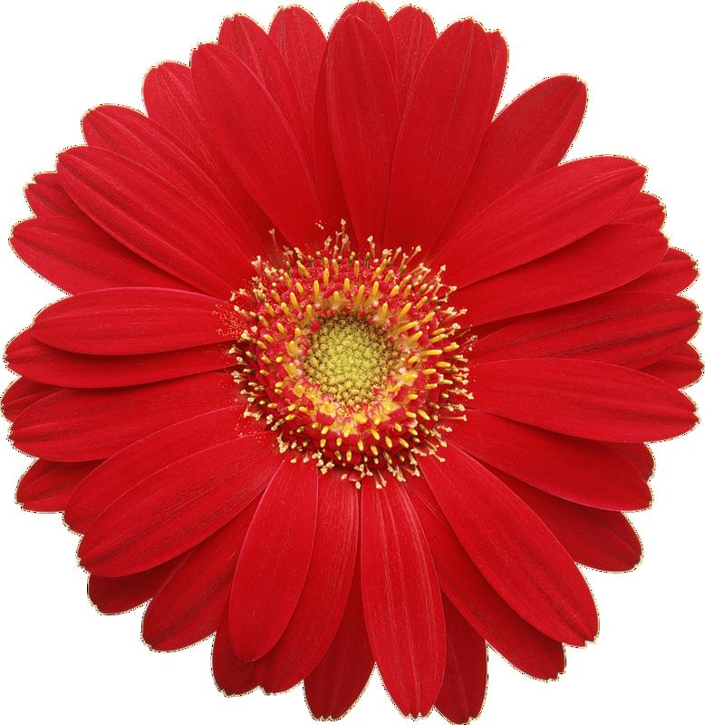 Clipart gerbera daisy clip free Red Gerber Daisy Clipart | free clipart | Flowers, Gerber daisies ... clip free