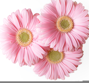 Clipart gerbera daisy picture free download Pink Gerbera Daisies Clipart | Free Images at Clker.com - vector ... picture free download