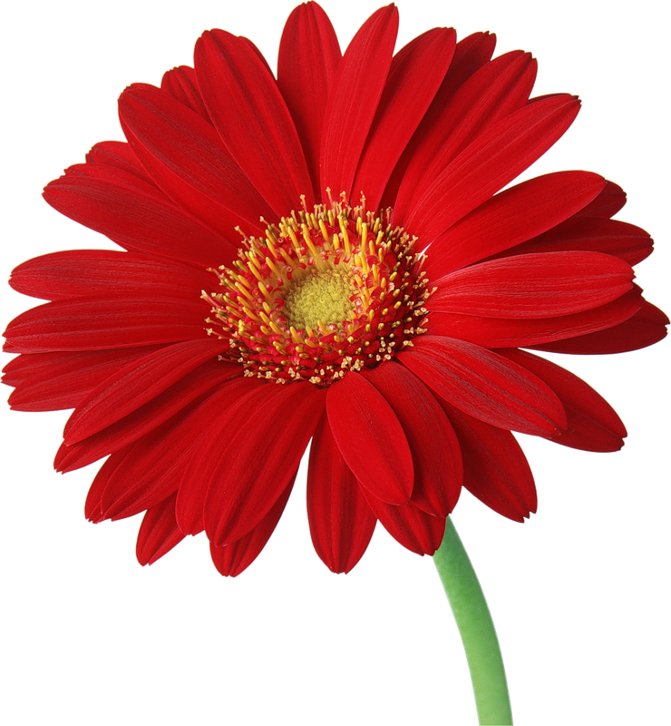 Clipart gerbera daisy jpg black and white Red Gerber Daisy with Stem Clipart | Gallery Yopriceville - High ... jpg black and white