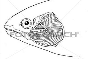 Clipart gills image free library Gills clipart » Clipart Portal image free library