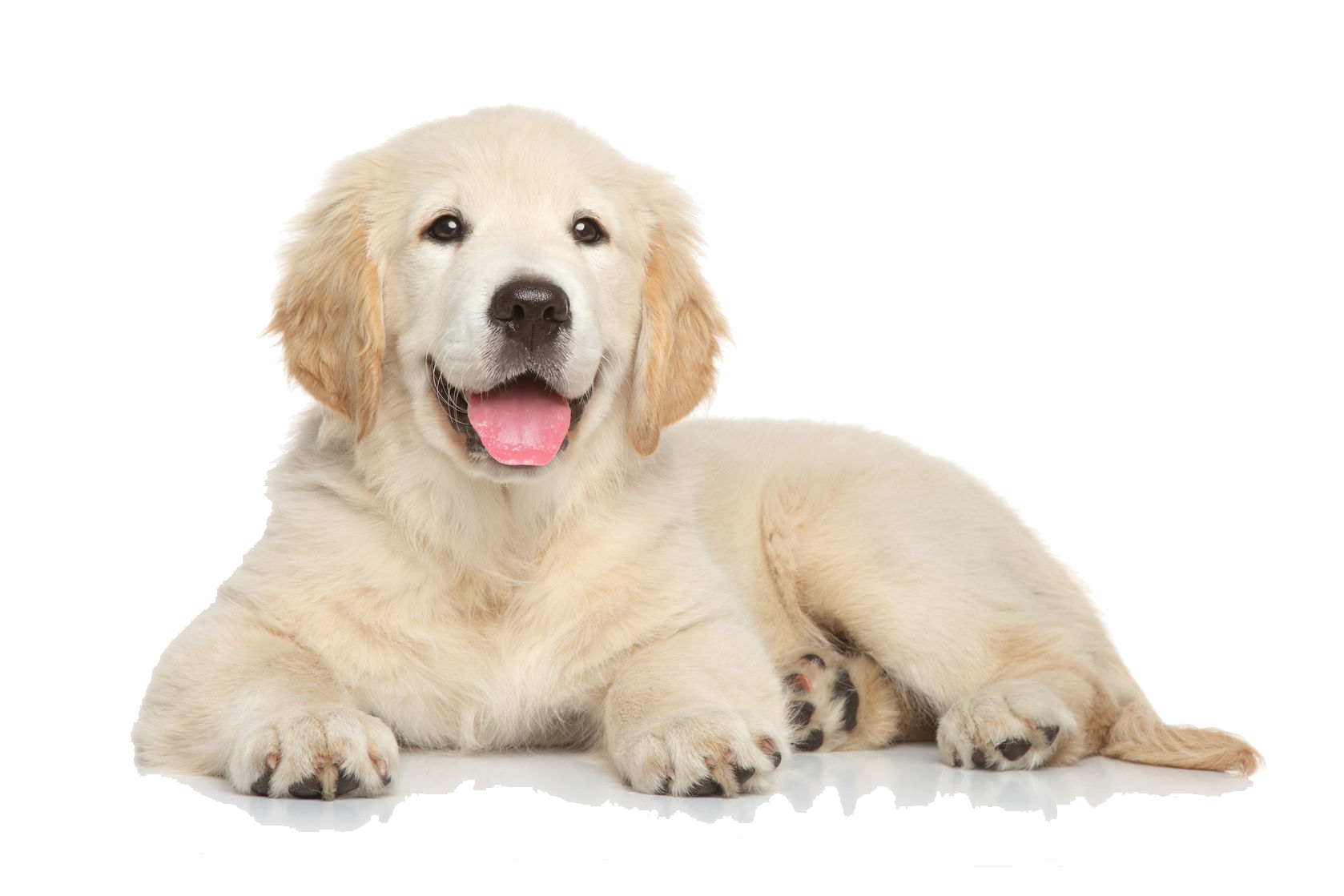 Golden retriever dog clipart graphic library 28+ Collection of Golden Retriever Clipart Transparent | High ... graphic library
