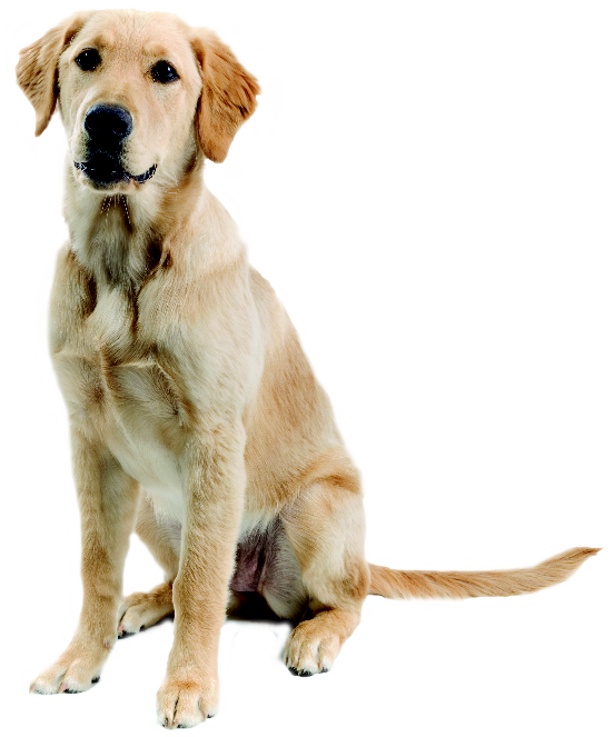 Golden retriever dog clipart clip art transparent library Dog png images | rendering | Pinterest | Dog, Photoshop and Architecture clip art transparent library