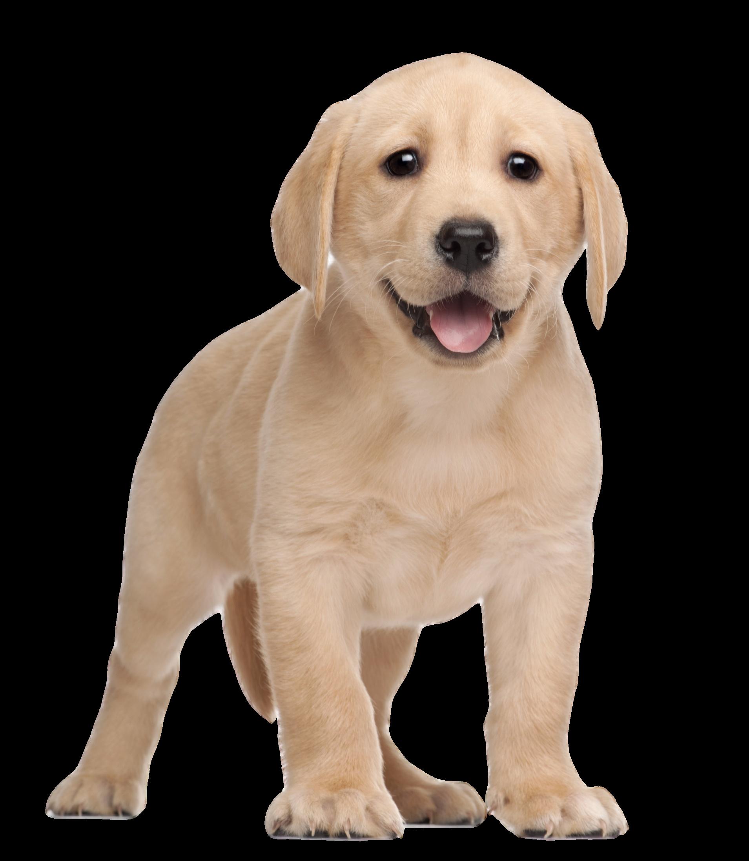 Clipart golden retriever dog clipart black and white Labrador Retriever Puppy Yorkshire Terrier Clip art - puppy 1909 ... clipart black and white