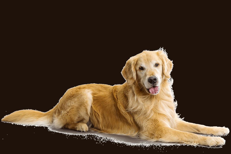 Golden retriever dog clipart clip art black and white 19 Pets clipart golden retriever puppy HUGE FREEBIE! Download for ... clip art black and white