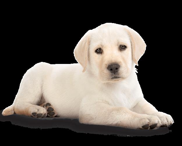 Golden retriever dog clipart jpg royalty free stock Golden Retriever Puppy PNG Photos jpg royalty free stock