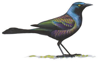 Clipart grackle clipart royalty free stock European Starling | Audubon Field Guide clipart royalty free stock