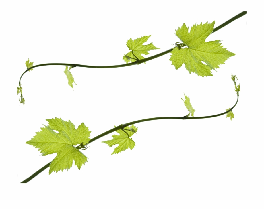 Clipart grape leaves vector black and white stock Grapevine Png Hd - Clip Art Grape Leaves, Transparent Png Download ... vector black and white stock