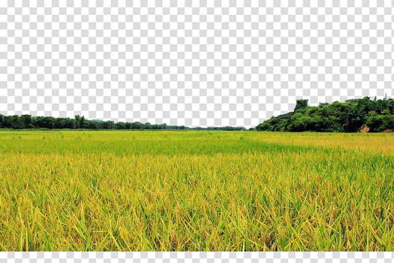 Clipart grass field vector library download Grass field, Field Farm Lawn Crop Energy, Golden rice fields ... vector library download