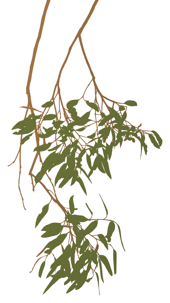 Clipart tree branch royalty free download Eucalyptus Gum Tree Branch Australia Clipart - Rooweb Clipart royalty free download