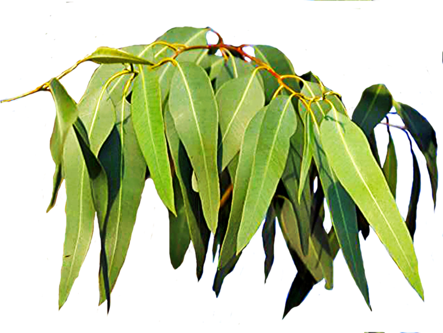 Clipart gum tree banner transparent stock Gum Tree Leaves 3 by LilipilySpirit on DeviantArt banner transparent stock