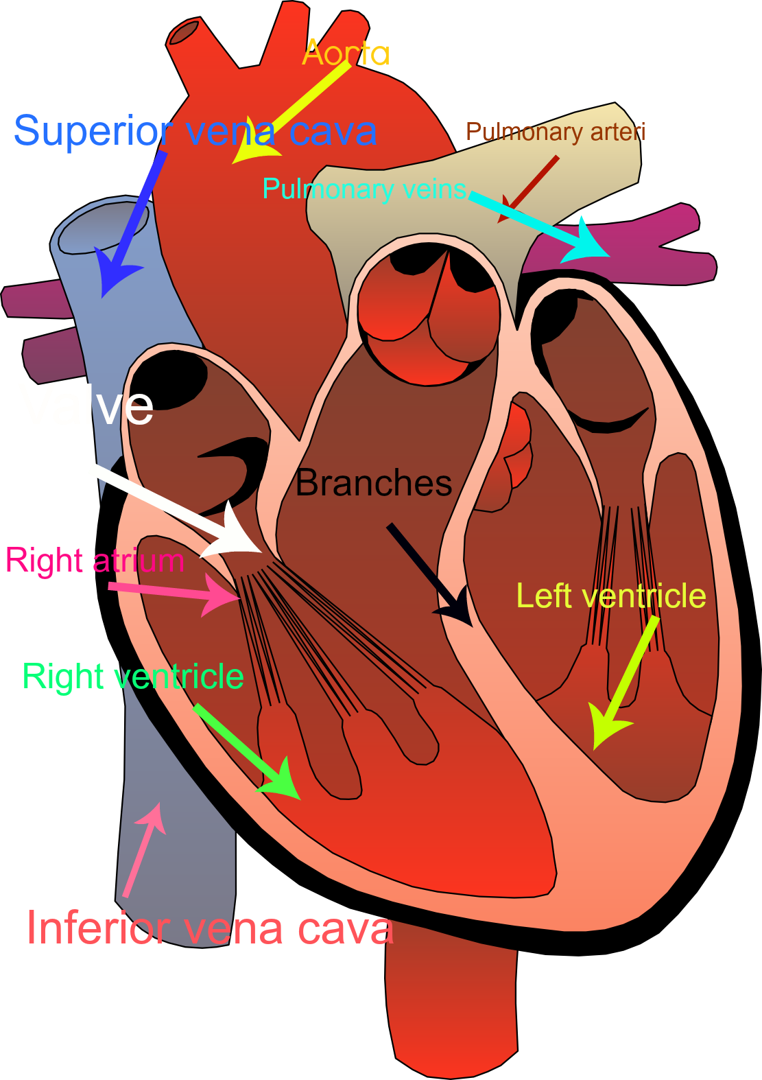 Heart and lungs clipart image royalty free library Cardiovascular System Clipart at GetDrawings.com | Free for personal ... image royalty free library