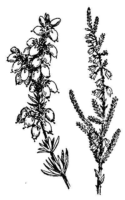 Clipart heather clipart stock Image result for scottish heather clipart   Scottish Country Dance ... clipart stock