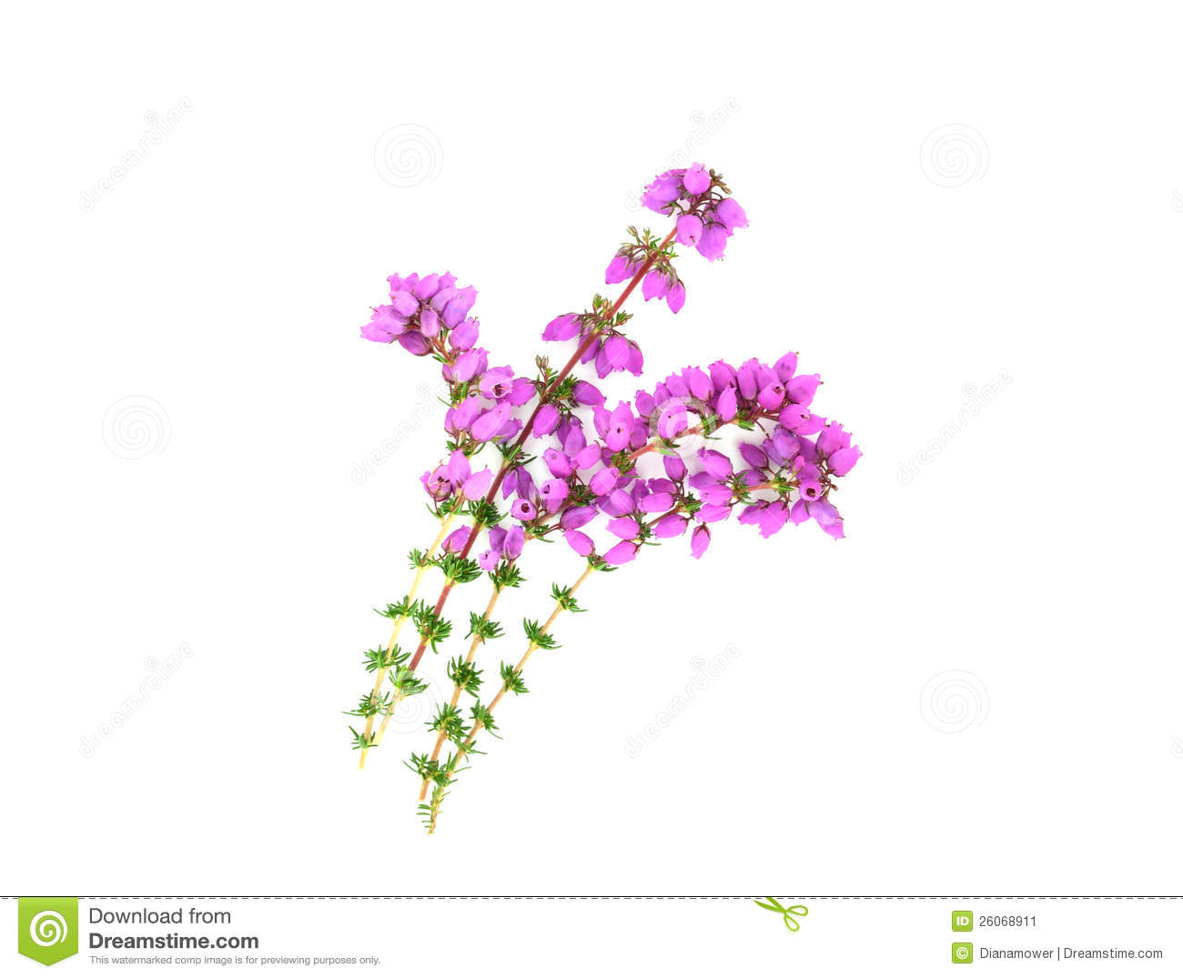 Clipart heather freeuse download Purple Heather Isolated Stock Image. Image #223075 - Clipartimage.com freeuse download