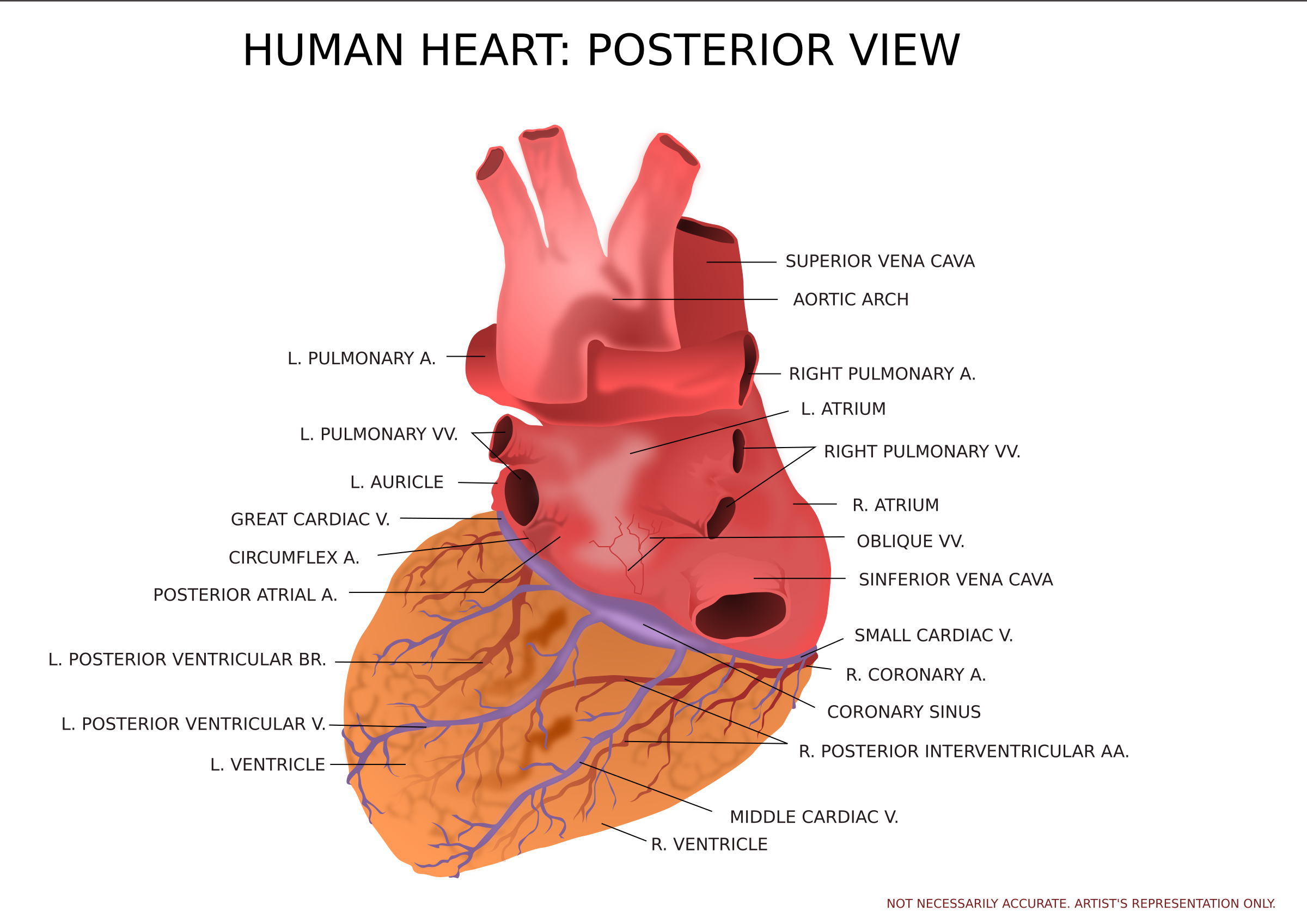 Clipart human heart svg Clipart - Human Heart Posterior View svg