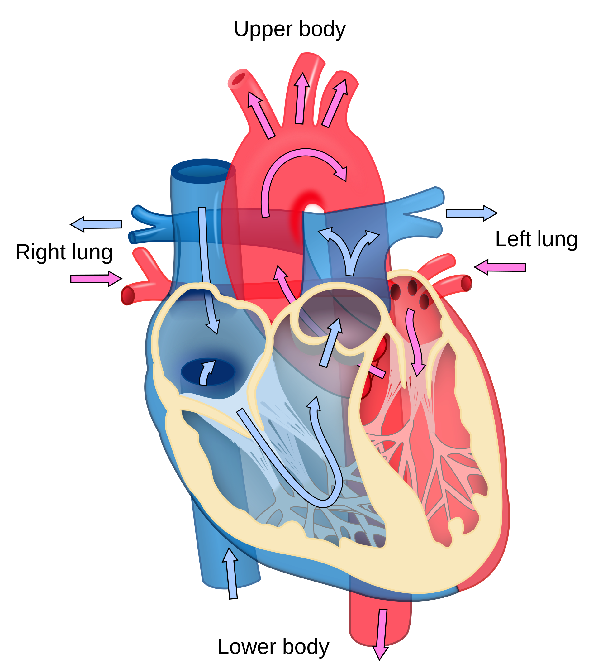 Human heart clipart labeled picture transparent library Heart Diagram Clipart at GetDrawings.com | Free for personal use ... picture transparent library