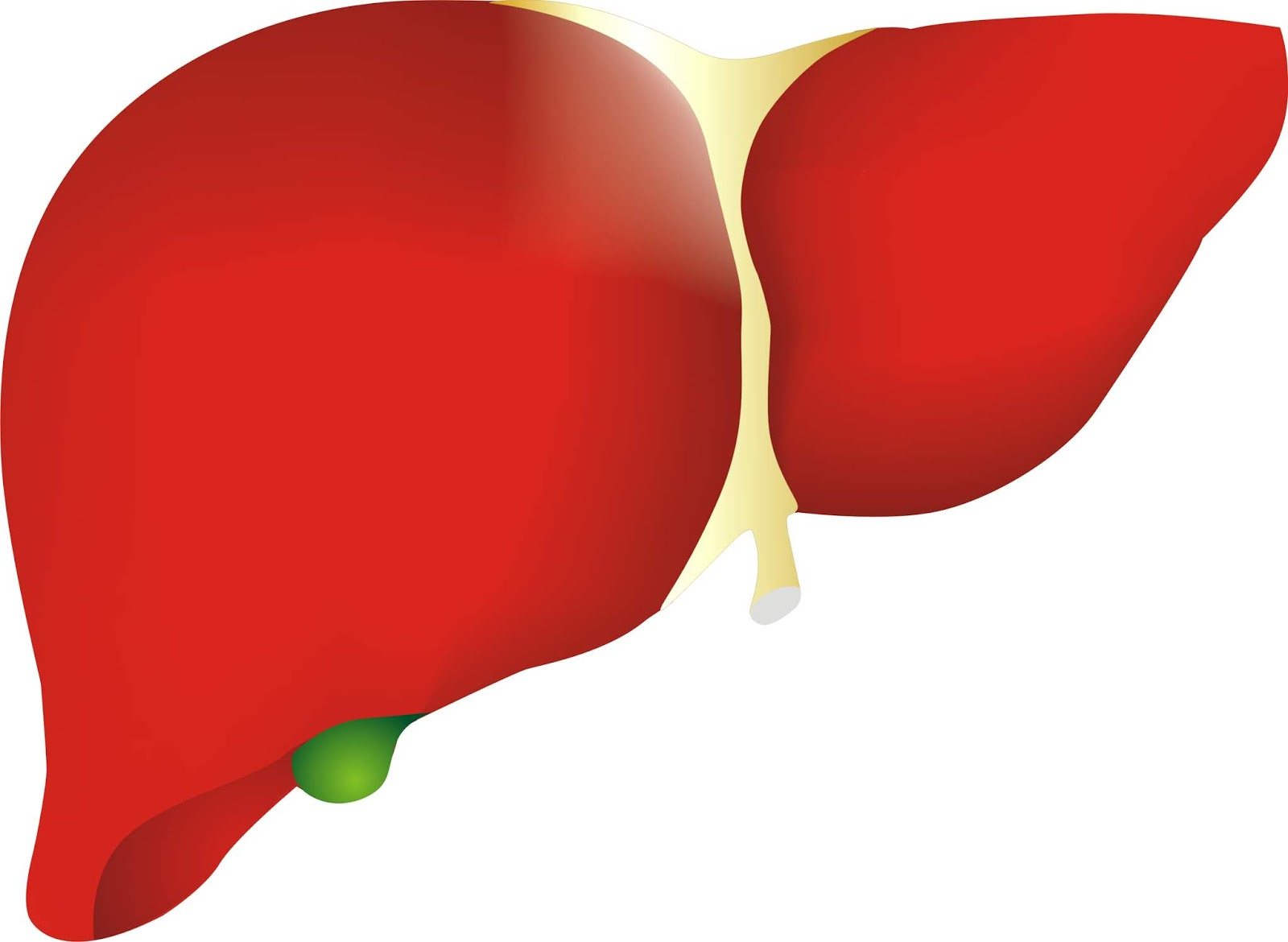 Clipart human liver banner black and white library LIVER PNG, LIVER, LIVER IMAGE, LIVER IMAGES, HUMAN LIVER IMAGE ... banner black and white library