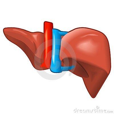 Clipart human liver banner transparent Human liver clipart » Clipart Portal banner transparent