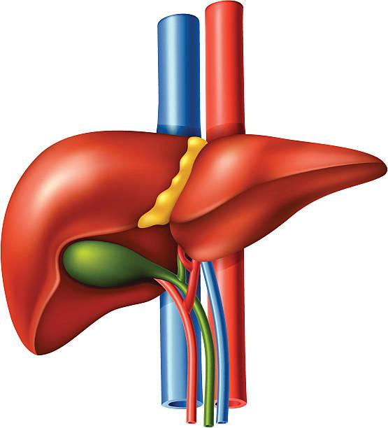 Liver clipart