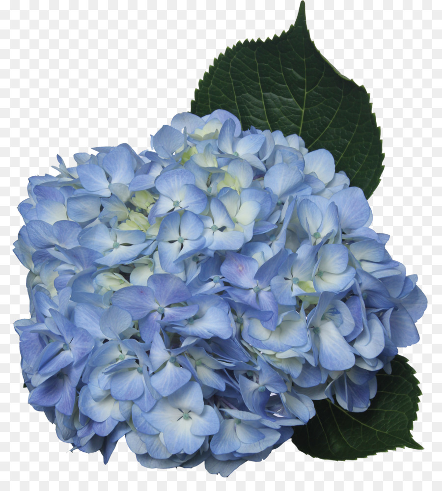 Clipart hydrangea image library stock Flowers Clipart Background clipart - Hydrangea, Flower, transparent ... image library stock
