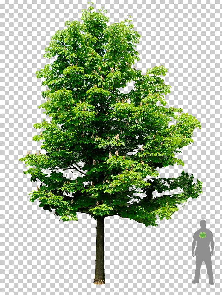 Clipart image of a moon chestnut tree banner freeuse European Horse-chestnut Tree Oak Architecture PNG, Clipart, American ... banner freeuse
