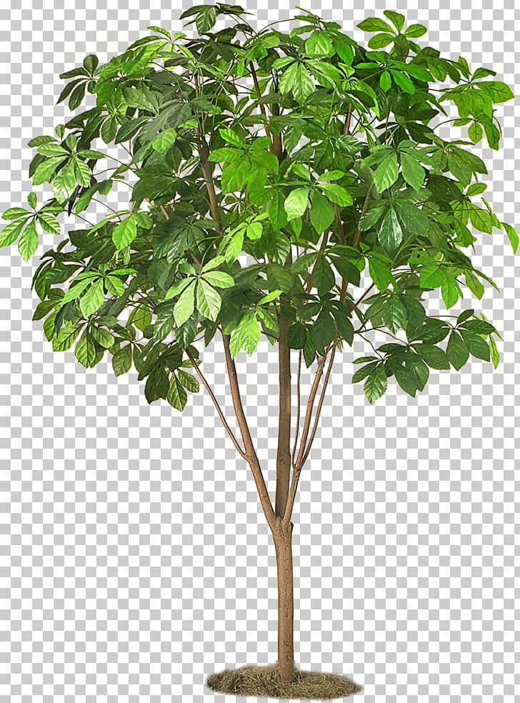 Clipart image of a moon chestnut tree clip freeuse stock Sweet Chestnut Tree European Horse-chestnut Tea Dracaena PNG ... clip freeuse stock