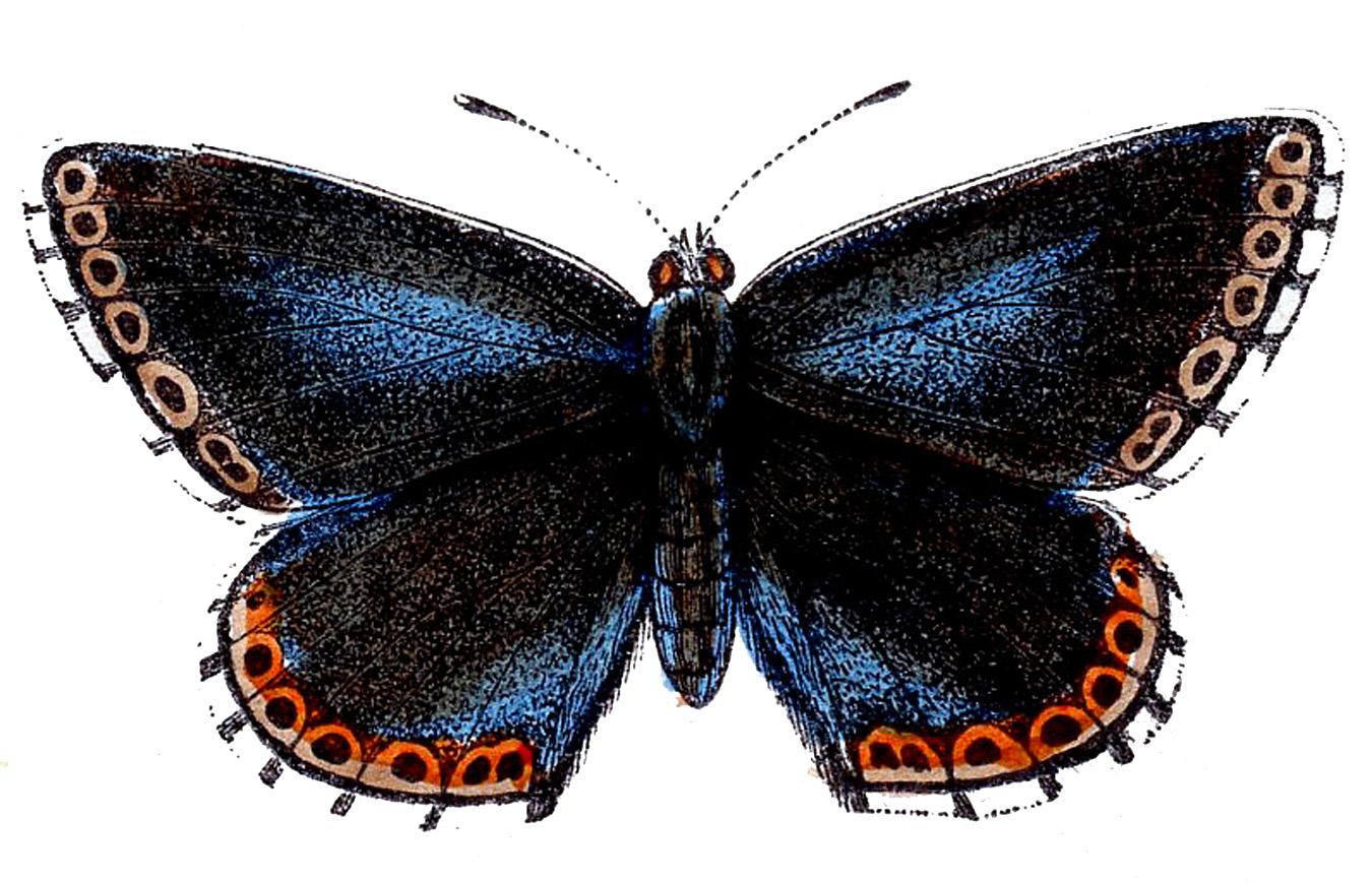 Clipart images for april butterflies jpg transparent Clip Art - Natural History - Butterflies - The Graphics Fairy jpg transparent