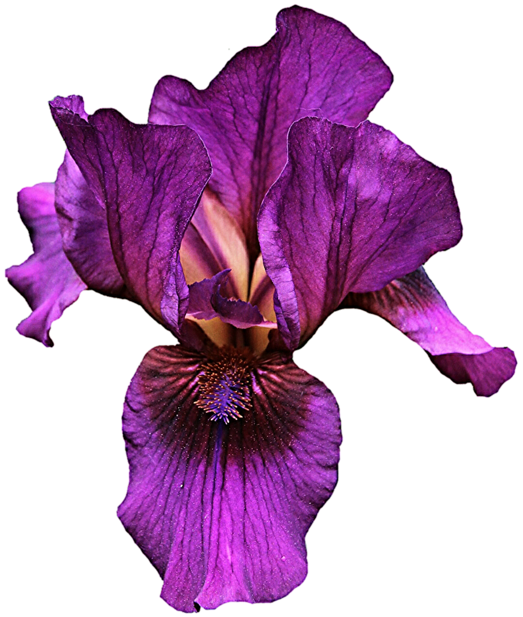 Iris flower clipart graphic free download Iris Flower Clipart at GetDrawings.com | Free for personal use Iris ... graphic free download