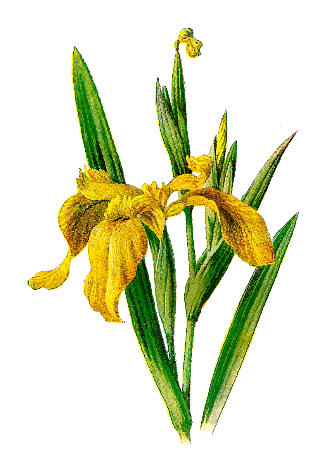 Flower seed clipart jpg transparent library Iris Clipart at GetDrawings.com | Free for personal use Iris Clipart ... jpg transparent library