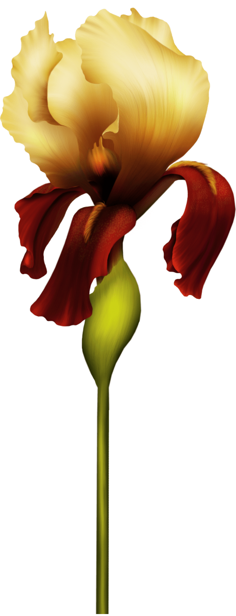 iris flower png - Free PNG Images | TOPpng jpg library stock