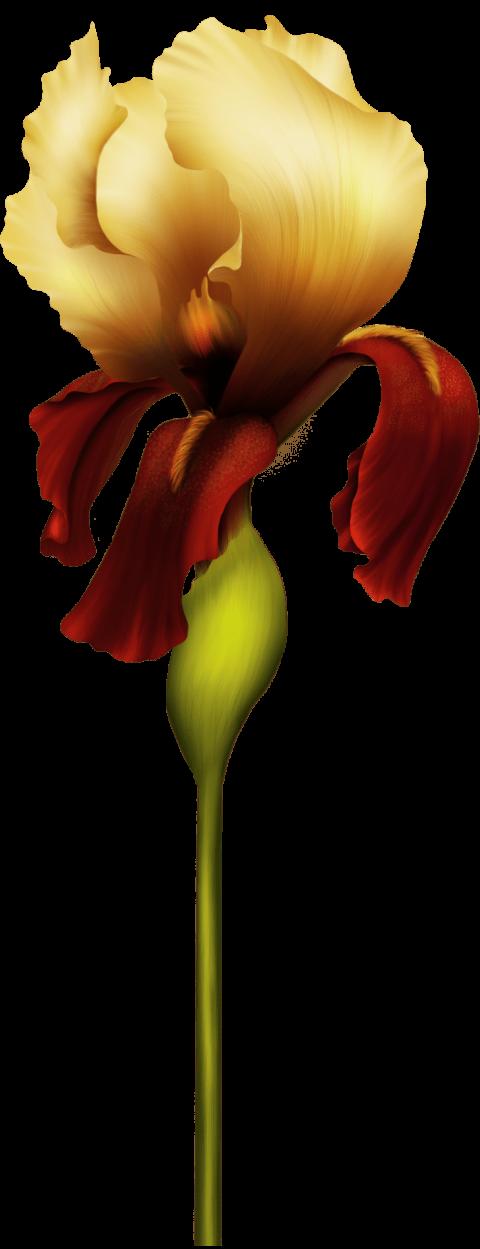 Iris flower clipart clip art freeuse stock iris flower png - Free PNG Images | TOPpng clip art freeuse stock