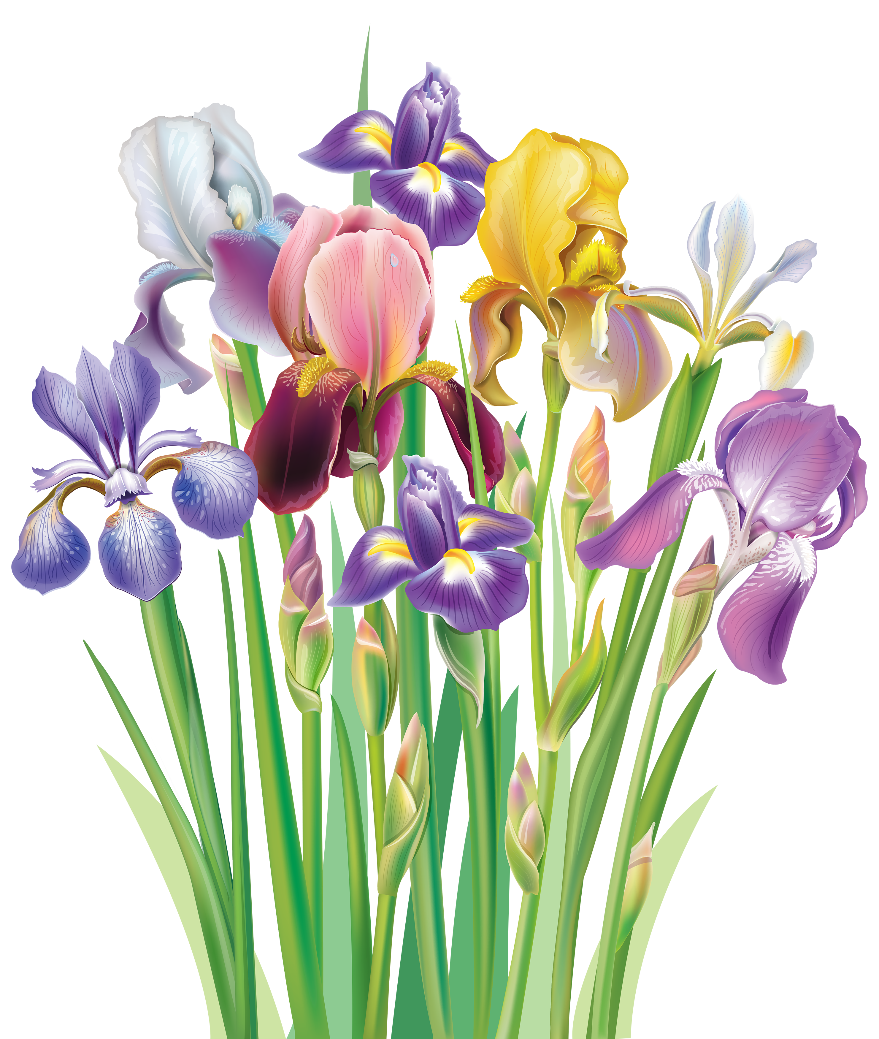 Irises PNG Clipart Image | Gallery Yopriceville - High-Quality ... vector free download