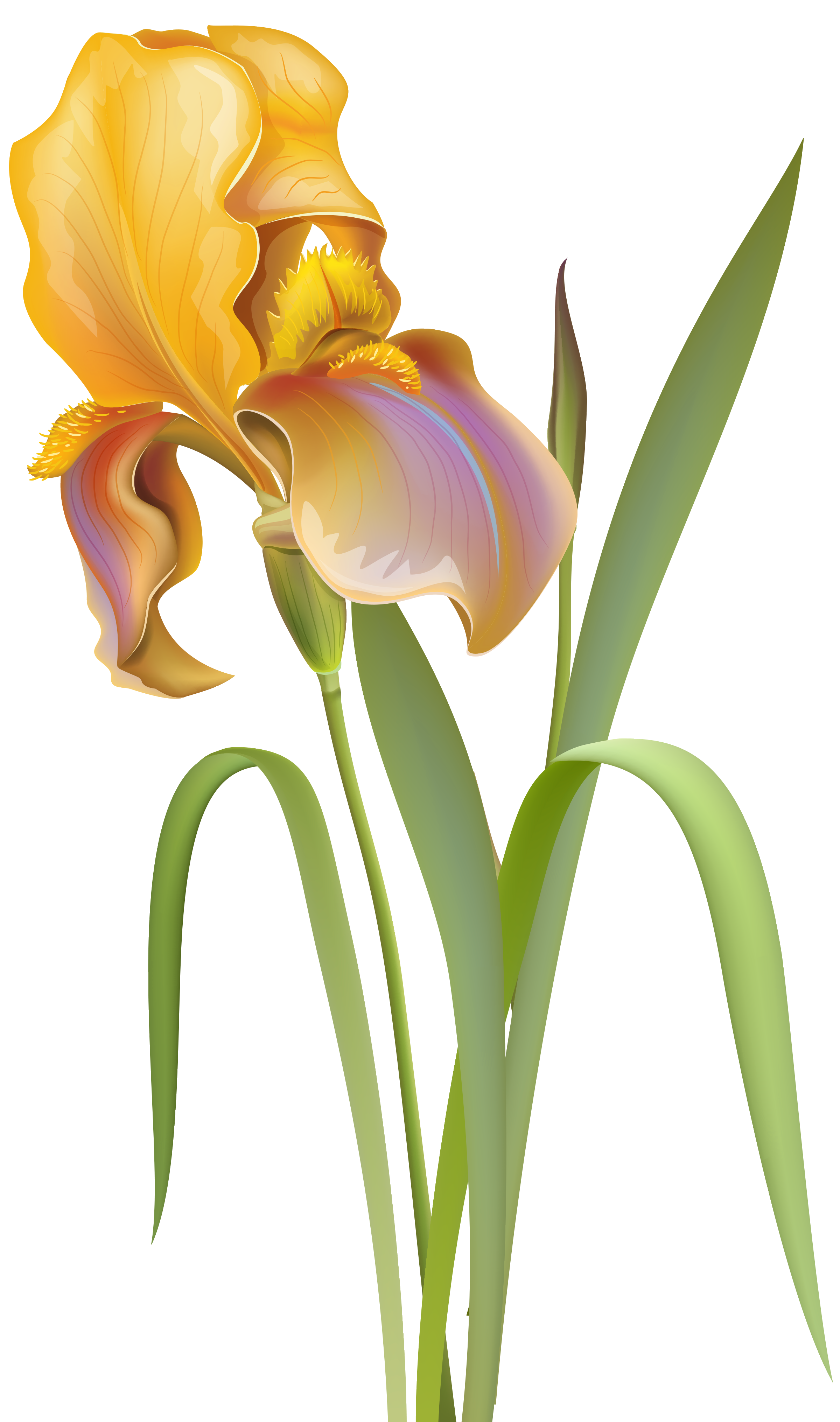 Iris Flower PNG Clip Art - Best WEB Clipart picture library download
