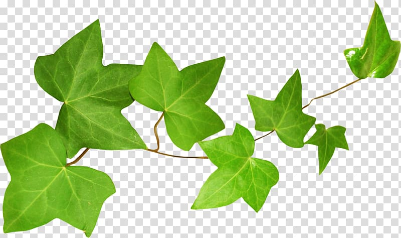 Clipart ivy leaves clip art royalty free stock Ivy Leaf Екстракт листя плюща Plant stem, Leaf transparent ... clip art royalty free stock