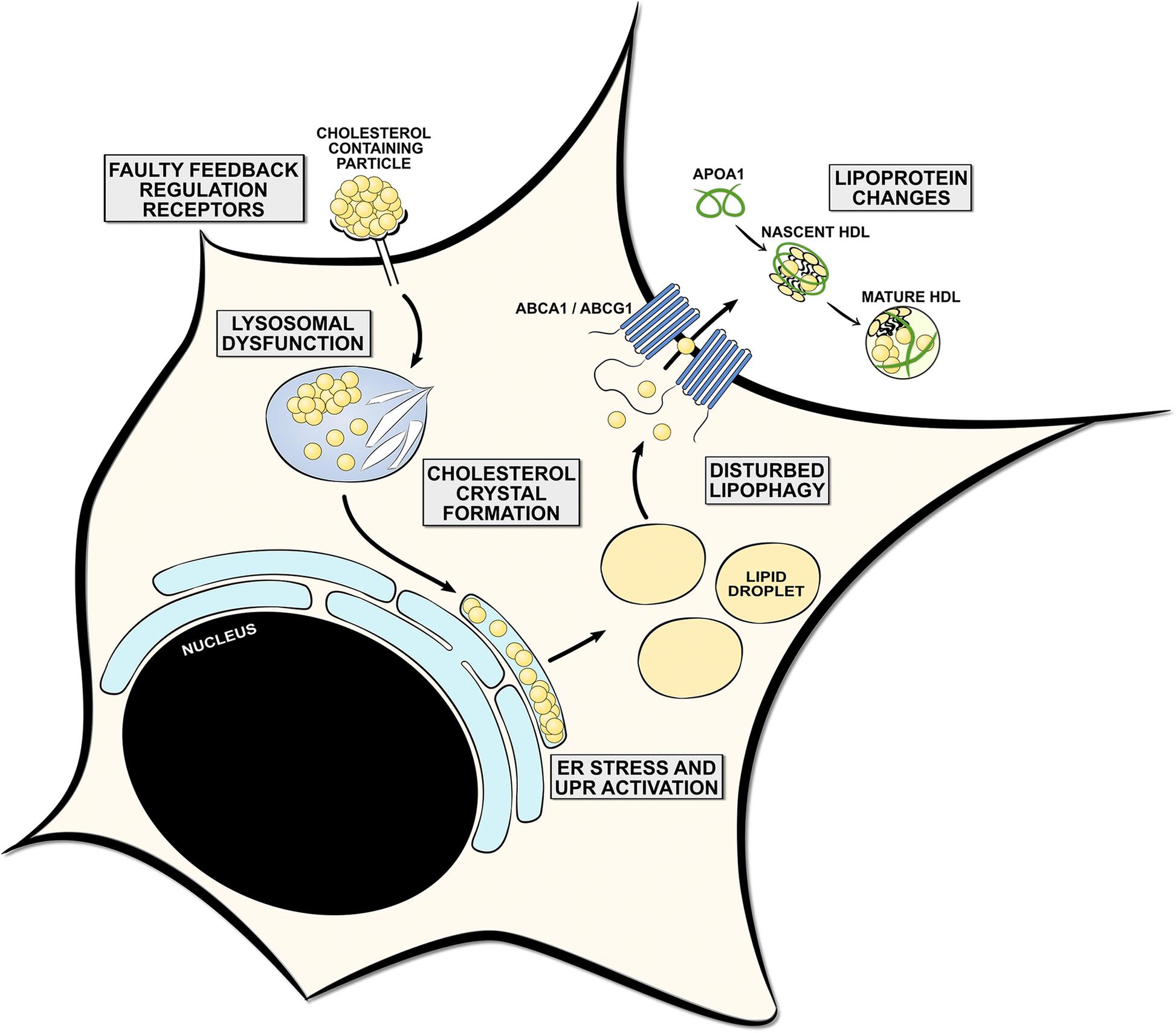 Clipart kok na kan vector stock The physiology of foamy phagocytes in multiple sclerosis | SpringerLink vector stock