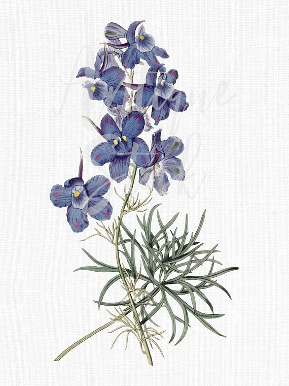 Clipart larkspurflowers picture library stock Blue Flower Clipart \'Siberian Larkspur\' Botanical Illustration ... picture library stock